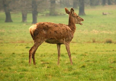 Deer, Female, Animal, Wildlife, Mammal, Nature, Wild