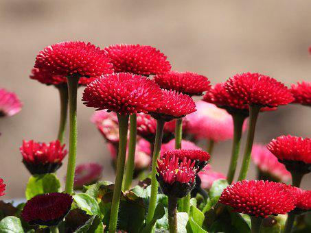 Daisies, Red, Flowers, Garden, Spring, Plant, Floral