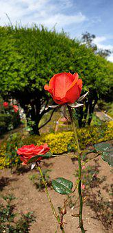 Orange Rose, Two Roses, Romantic, Flower