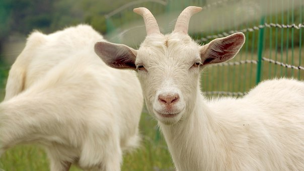 Goat, White Goat, Feast, Cute, Close Up, Grazing