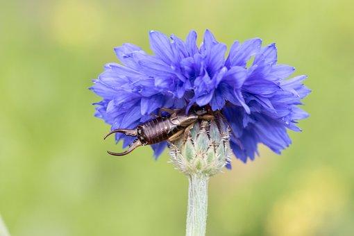 Earwig, Earwigs, Dermaptera, Macro, Close Up, Blossom