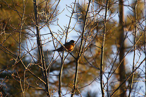 Bird, Bird In Trees, Trees, Big Bear