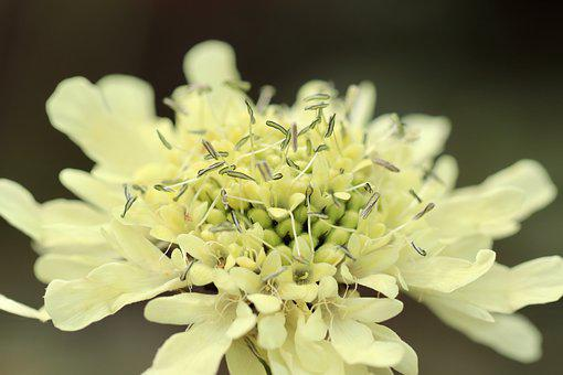 Field Scabious, Knautia, Blossom, Bloom, Stamens