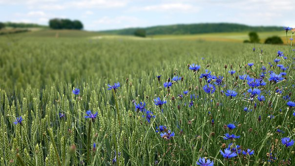 Countryside, Blueberries, Wheat, Nature, Flowers
