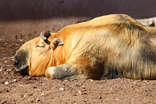 Takin, Budorcas Taxicolor, Ovis, Animal, Sleeps, Lies