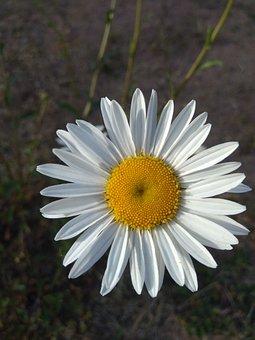 Daisy, Chrysanthemum, Garden, Flower