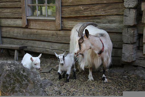 Goat, Culture, Kid, Newborn, Cute, The Horns, Nurture