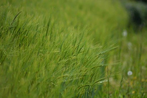 Grass, Spikes, Grain, Field, Green, Spring, Garden