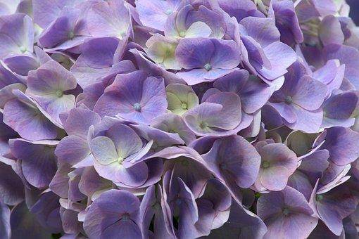 Hydrangea, Petal, Purple, Bloom, Nature, Petals