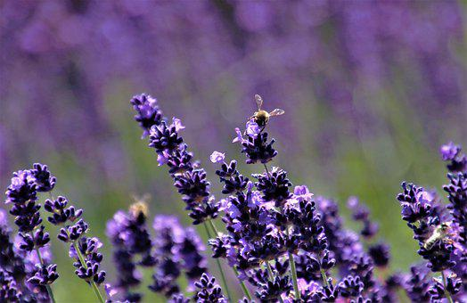 Lavender, Purple Flowers, Bee, Pollination, Nectar
