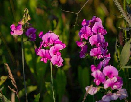 Sweet Peas, Wild Flowers, Pink Flower, Bloom, Pink