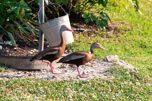Duck, Whistling Duck, Black-bellied Whistling Duck
