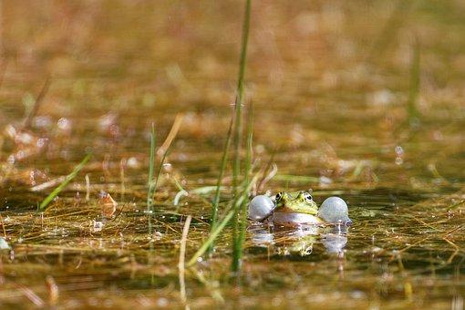 Green, Frog, Water, Animal, Sitting, Amphibian, Pond