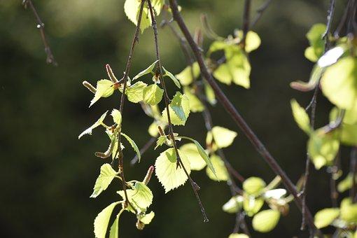 Birch, Nature, Leaf, Green