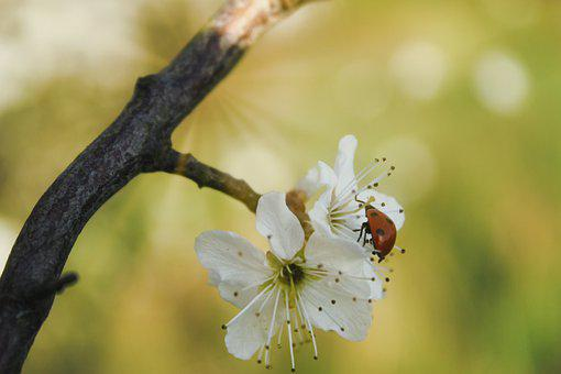 Ladybug, Spring, Nature, Insect, Blossom