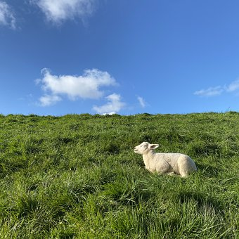 Lamb, Animal, Spring, Livestock, Wool, Grass, Rural