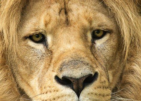 Lion, Tawny, Look, Predator, Africa, Mane, Safari, Zoo
