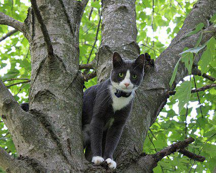 Cat, Kitty, Tree, Tuxedo, Pet, Feline, Cute, Climbing