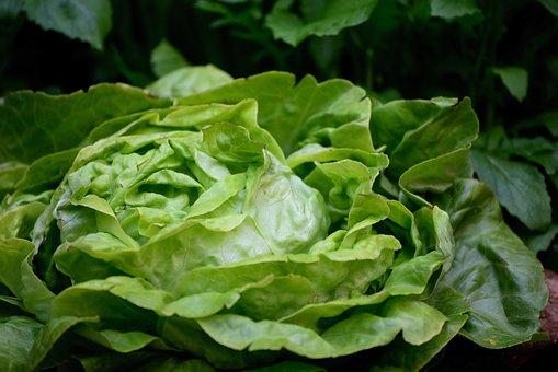 Salad, Head Of Lettuce, Green Salad, Bio, Lettuce