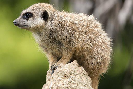 Suricate, Animal, Nature, Zoo, Curious