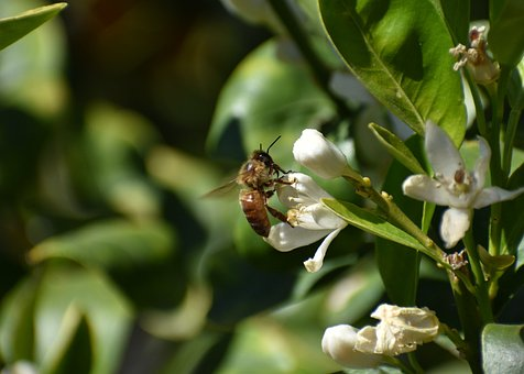 Bee, Pollination, Insect, Blossom