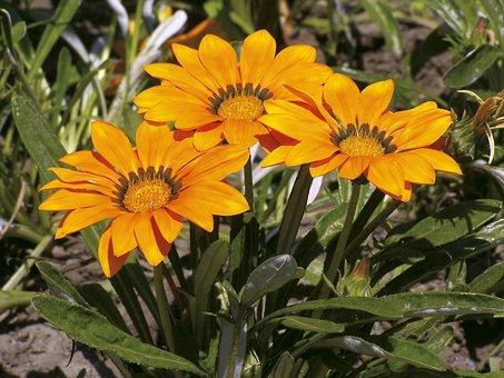 Gorgeous Rain Flower, Gaza To Rigen-old, Yellow, Garden