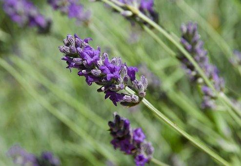 Lavender, Perfume, Provence, Purple, Aroma