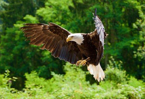 White Tailed Eagle, Bird, Raptor