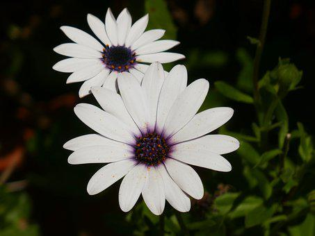African Daisies, Flowers, Bloom, Blossom