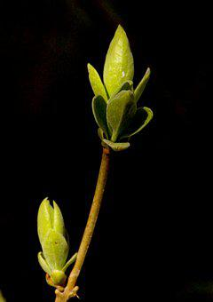 Branch, Sheet, Bud, Nature, Leaves