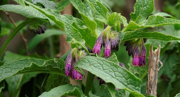 Nature, Flowers, Spring, Vegetable, Comfrey, Purple