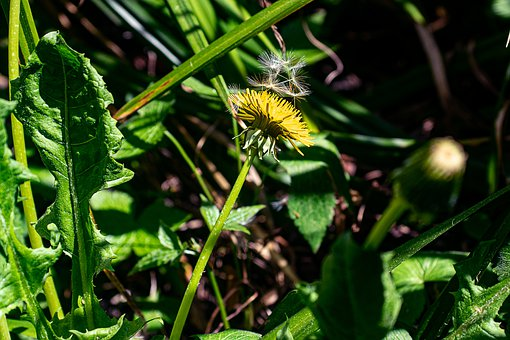 Dandelion, Herb, Plant, Flowers, Weed
