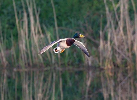 Flying Duck, Duck, Water, Mallard, Waterfowl, Flying