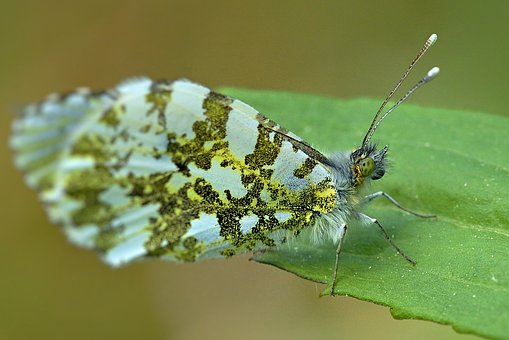 Butterfly, Aurora Butterfly, Close Up, Wing, Edelfalter