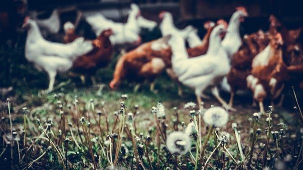 Chicken, Flora, Grass, Bird, Chickens, Animals, Farm