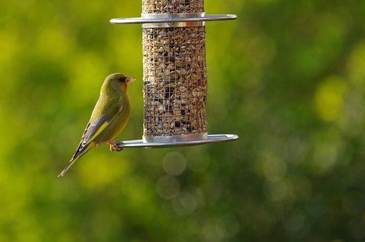 Greenfinch, Sitting, Garden Bird, Fink, Yellow Green