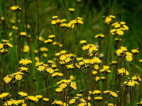 Meadow, Yellow, Flower, Group, Flora
