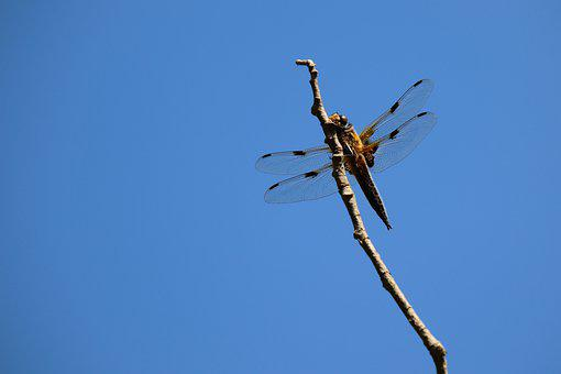 Dragonfly, Four Patch, Insect, Close Up, Flight Insect