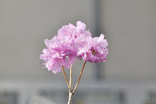 Korean Rosebay, Flowers, Spring, Nature, Plants, Pink