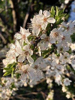 Flowers, Tree, Damson, Yellow Plums