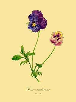 Trifolium Pratense, Viola, Drawing, Botanical, Flora