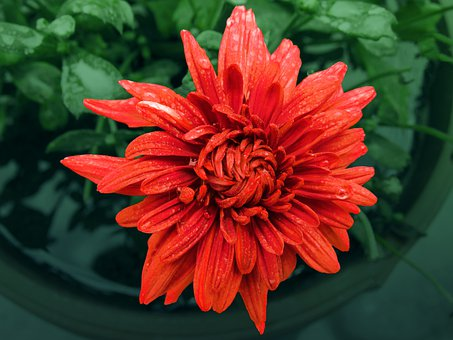 Flower, Chamanti Flower, Chamanti, Garden, Petals