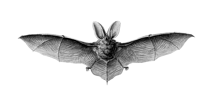 Animal, Bat, Flight, Flying, Mammal