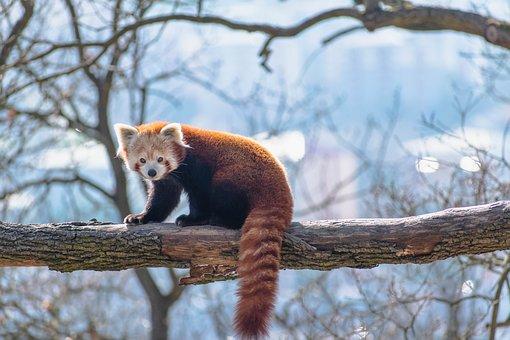 Red Panda, Tree, Branch, Fur, Animal