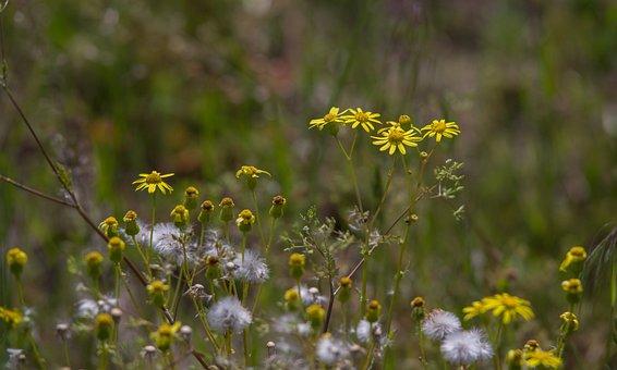 Ragwort, Groundsel, Jacob Herb, Nature, Plant