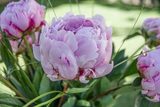 Peonies, Petals, Florist, Pink