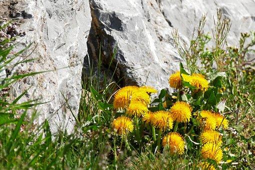 Dandelion, Stone Wall, Stone, Grass