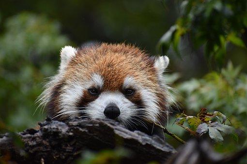 Red, Panda, Animal, Zoo, Face, Wild