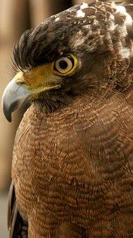 Eagle, Philippines, Wild, Animals, Brown Eagle