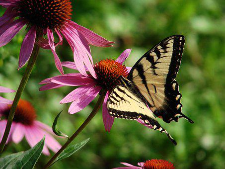 Butterfly, Echinacea, Pink, Flower, Nature